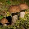 В Україні триває грибний сезон